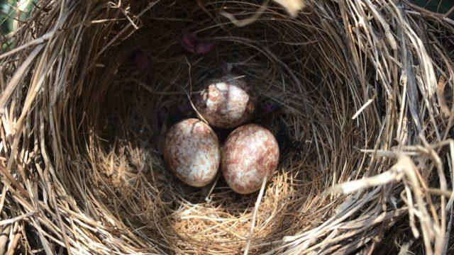 鳥の巣を撤去