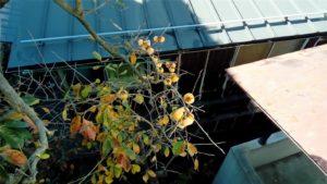 西川家の柿下側